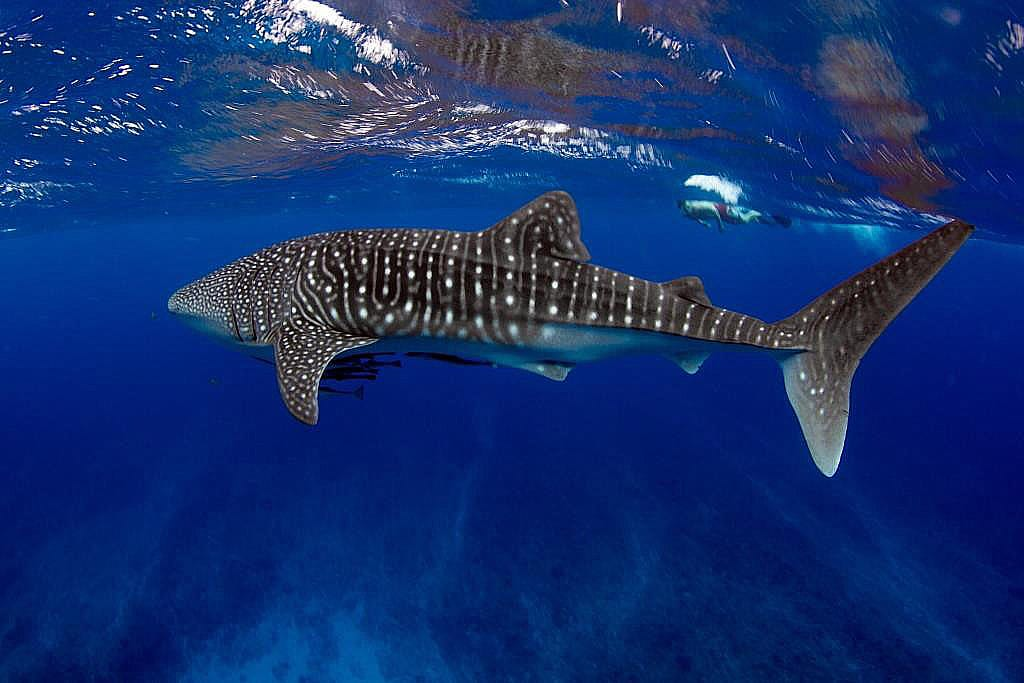 Whale Sharks - Isla Mujeres Vacation Rental